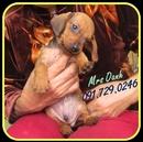 Tp. Hà Nội: Tìm nhà mới cho bé DACHSHUND (Lạp xưởng) mini thuần chủng CL1599286
