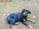Tp. Hồ Chí Minh: Bán Chó Rott 2 Tháng Tuổi Đã Chích Ngừa CL1517956