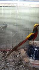 Bình Dương: chim trĩ 7 màu đỏ , chim trĩ cảnh CL1689707