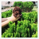 Tp. Hà Nội: Tìm nhà mới cho đàn Poodle socola. Đón tài lộc đầu năm CL1701835P6