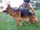 Tp. Hà Nội: Bán đàn chó Becgie con GSD bố mẹ ngoại CL1701835P6