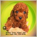 Tp. Hà Nội: Bán chó POODLE TINY NÂU ĐỎ sinh tại nhà, đã tiêm phòng CL1701835P6