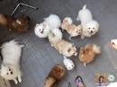 Tp. Hồ Chí Minh: Chuyên Phối Giống Phốc Sóc (Pomeranian) CL1517956