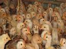 Tp. Hồ Chí Minh: Bán gà giống manh, ham ăn mau lớn, ít bệnh CL1633117