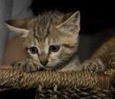 Tp. Hà Nội: [HN] Tìm nhà mới cho mấy bé mều kute CAT236_238P11