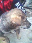 Tp. Hà Nội: Chó con CAT236_238P11