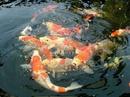 Tp. Hà Nội: Chuyên cung cấp cá Koi các loại giá tốt CAT236_238P10
