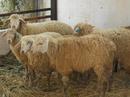 Tiền Giang: Cung cấp Cừu giống Australia Trung lương Tiền giang. CL1110376