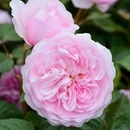 Tp. Hồ Chí Minh: %%%%%% Vườn hoa hồng leo David Austin nhà chị Hiện Q. 7 CL1646617