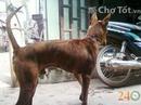 Tp. Hồ Chí Minh: Nhận Phối Giống Chó Phú Quốc Vện Lửa, Lưỡi Đen 100% CL1701642P4