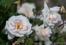 Tp. Hồ Chí Minh: .. . Chị hiền Q. 7 trồng hàng trăm loại hoa hồng leo CL1650832