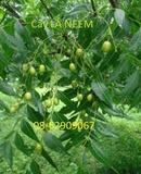 Tp. Hồ Chí Minh: Lá NEEM Ấn độ- Để Chữa bệnh tiểu đường, bớt nhức mỏi và tiêu viêm CL1657742