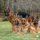 Tp. Hồ Chí Minh: Chuyên Bán Chó Rottweiler, Becgie, Phú Quốc CL1672549