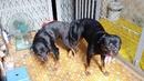 Tp. Hồ Chí Minh: Bán rottweiler con đẹp chuẩn CL1680403