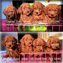 Tp. Hà Nội: HN- Bán chó POODLE thuần chủng, siêu đáng yêu (ảnh thật) CL1689320