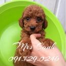 Tp. Hà Nội: HN- Bán chó POODLE thuần chủng, sinh tại nhà (ảnh thật) CL1689320