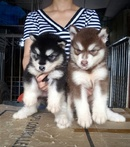 Tp. Hà Nội: chó mẹ và đàn alaska đẻ 13/ 4 CL1689916