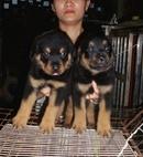 Tp. Hà Nội: đàn rottweiler đẻ 22/ 4 CL1691005