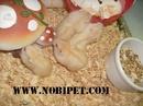 Tp. Đà Nẵng: Bán Hamster winter white giá rẻ Đà Nẵng CL1702831