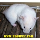 Tp. Đà Nẵng: Bán Hamster Bear giá rẻ CL1702831