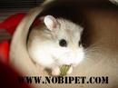 Tp. Đà Nẵng: Bán Hamster robo giá rẻ đẹp mê ly CL1702831