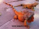 Tp. Đà Nẵng: Bán Iguana - Rồng Nam Mỹ đẹp và hầm hố CL1702831
