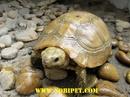 Tp. Đà Nẵng: Rùa Núi Vàng nuôi cảnh và phong thủy cực đẹp CL1702831