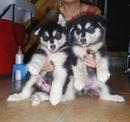 Tp. Hà Nội: đàn alaska 2 tháng tuổi CL1691005