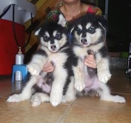 đàn alaska 2 tháng tuổi