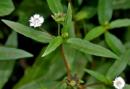 Tp. Hà Nội: Tin tức trồng cây nhọ nồi giúp làm giàu CL1687574