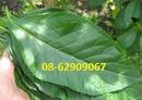 Tp. Hồ Chí Minh: Lá Cây MẬt GẤU- Dùng chữa tiểu đường, giảm đau nhức-kết quả tốt CL1691163