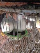 Bình Phước: Bán chim Bồ câu giống Pháp giá rẻ. CL1514442