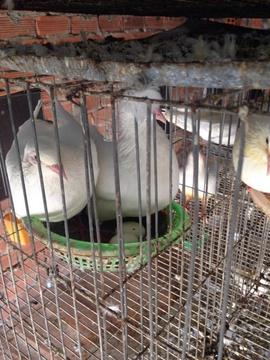 Bán chim Bồ câu giống Pháp giá rẻ.