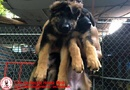 Tp. Hà Nội: Chó becgie con 2 tháng tuổi thuần chủng CL1701507