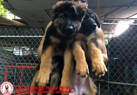Chó becgie con 2 tháng tuổi thuần chủng