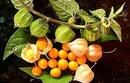 Tp. Hồ Chí Minh: Cây thù lù chữa bệnh gan, tiểu đường, rôm sẩy hiệu quả CL1698124