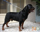 Tp. Hồ Chí Minh: Bán Chó Rottweiler, Becgie CL1700683