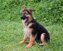 Tp. Hà Nội: Bán chó Becgie – Phối giống chó Becgie CL1701507