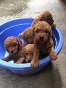 Tp. Hà Nội: Đàn Poodle size nhỡ 50 ngày tuổi CAT236P8