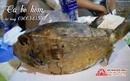 Tp. Hồ Chí Minh: Bán cá bò hòm đang hot trên thị trường CL1700893