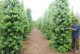 y!*$. Bán vườn tiêu va cao su tại Bình Phước đang cho thu hoạch cao