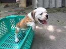 Tp. Hà Nội: Bulldog English 2 bé đực CAT236_238_243