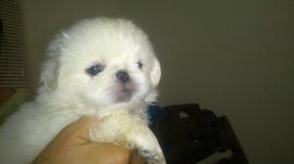 Bán chó con Bắc Kinh trắng thuần chủng