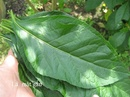 Tp. Hồ Chí Minh: Lá Cây Mật GẤU==- Sản phẩm Chữa tiểu đường , giảm nhức mỏi tốt CL1702851