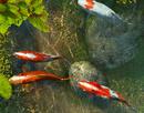 Tầm quan trọng của loài cá trong Phong Thuỷ NEWS2719