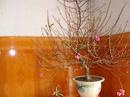Phong thủy cắm hoa đào ngày Tết NEWS3641