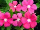 Trồng hoa dừa cạn mang may mắn vào nhà NEWS4099