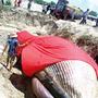 [1] Cá ông trôi vào bờ đang được người dân chuẩn bị chôn cất theo nghi lễ truyền thống.
