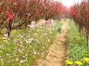 Bí quyết nghề trồng đào Nhật Tân RSN3216