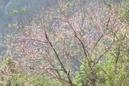 Đào rừng bung nở RSN3516